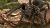 Spider venom suggests pain solution for IBS