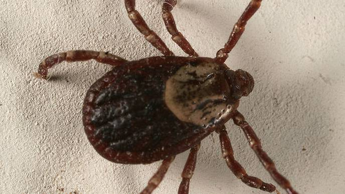 UC Research Shows Ticks Are Even Tougher And Nastier Than You Thought