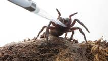 Spider Venom may Offer Stroke Therapy