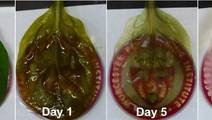 Beating Human Heart Tissue Grown from Spinach Leaves