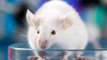 Mouse Implanted with Ovaries made by 3D Printer Gives Birth